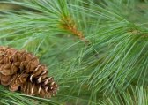 Pine cone and needle