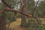 pine-limb-redu