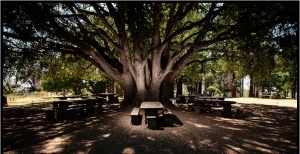 Palomar Mountain - Our Oak Tree